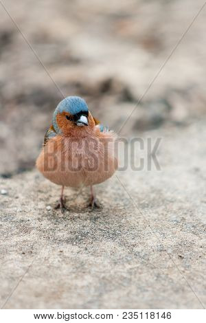 Fluffy Forest Bird (robin Redbreast) On A Parkway In April. European Robin (erithacus Rubecula). Mus