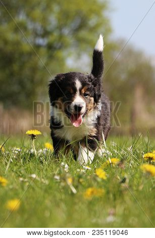 Tricolored Border Collie Puppy Is Walking In The Garden