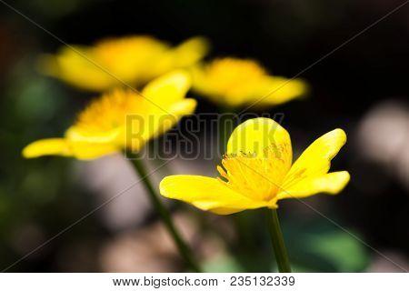 Marsh Marigold In The Woods In Spring, Caltha Palustris, Flowers, Selective Focus, Macro
