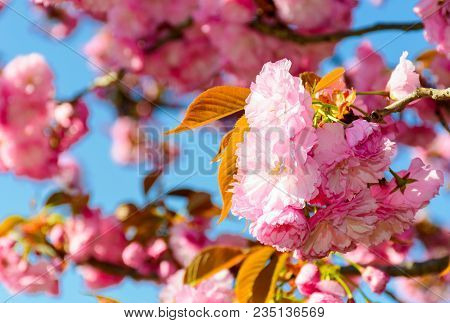 Closeup Of Cherry Blossom Flowers. Beautiful Springtime Background