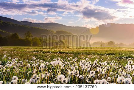 Dandelion Field On Foggy Sunrise. Beautiful Agricultural Scenery In Mountains