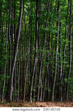 Tall Beech Trees With Green Foliage. Beautiful Summer Nature Background