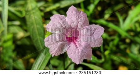 Ornamental Pink Dwarf Mexican Petunia Also Known As Brittons Wild Petunia Or Mexican Bluebell Native