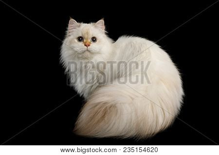 British Breed Cat Color-point Fur And Huge Furry Tail With Magic Blue Eyes, Sitting On Isolated Blac