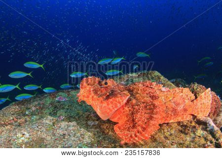 Scorpionfish on coral reef