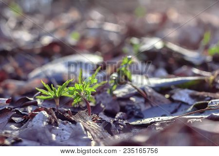 A Green Sprout Are Pierced Through Fallen Old Leaves In The Forest Against A Background Of Dry Yello