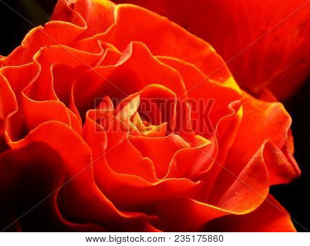 The Flame Of The Rose. Rose Flower Close-up, Photographed With A Difference In Brightness And In Con