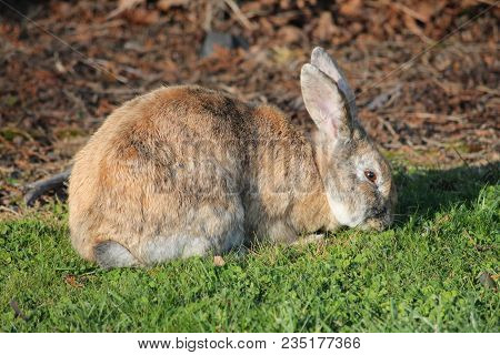 Cottontail On Grass In Pool Of Light