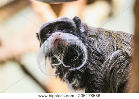 Closeup Portrait Of An Emperor Tamarin Saguinus Imperator Stuttgart Zoo Germany