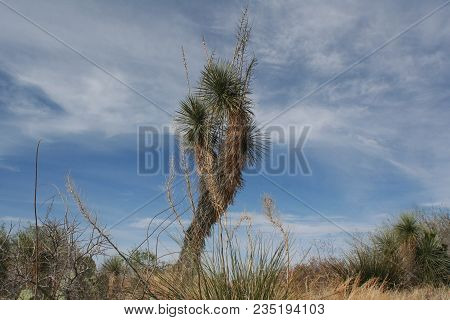 Joshua Tree Against Blue Sky With Whilte Clouds In The Arizona Sonoran Desert