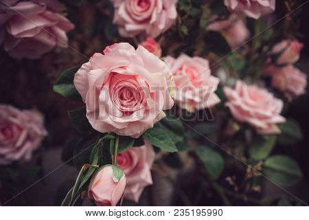 Soft Color Roses Background, Love Nature In City