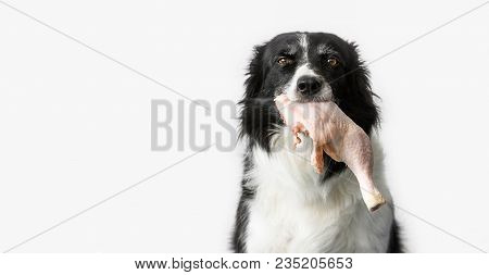 Dog (black And White Border Collie) With Raw Meat (chicken Thigh) In Mouth