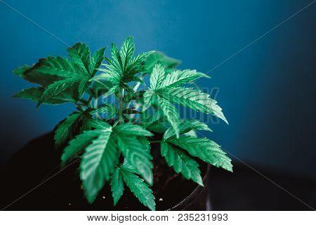 Green Marijuana Grow Leaves Cannabis Plant Medical Marijuana, Young Beautiful C On Beautiful Backgro