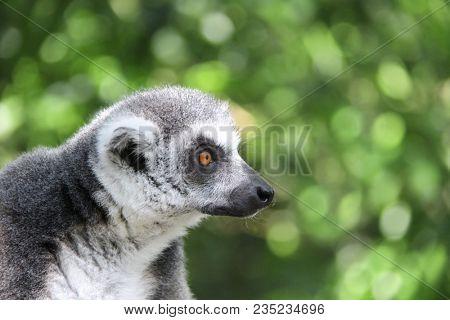 Close-up portrait of Ringtailed lemur (lemur catta) on blurred green background