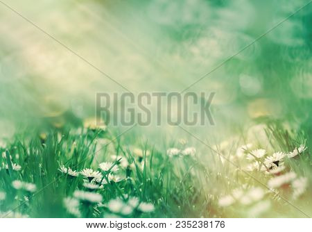 Selective Focus On Daisy Flower - Daisy Flowers Lit By Sunlight In Meadow