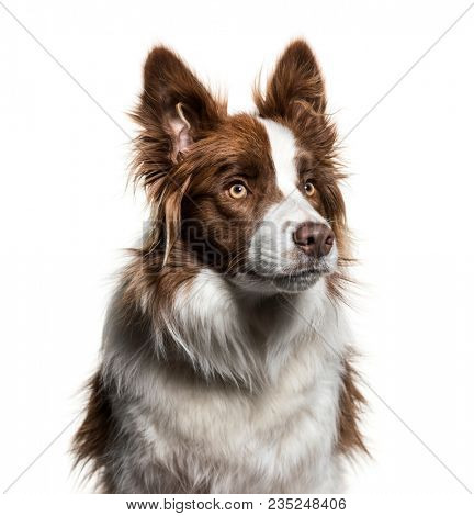 Border Collie, 1 year old, looking up against white background
