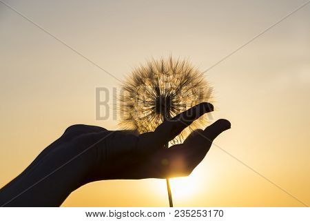 Large White Dandelion Flower In A Female Hand Against The Backdrop Of The Setting Sun. Silhouette Of