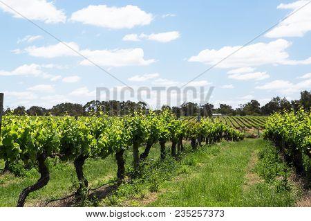 Vines And Vineyard Near The Swan River, Western Australia