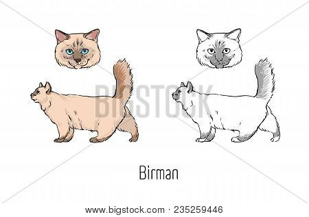 Set Of Colored And Monochrome Contour Drawings Of Head And Full Body Of Birman Cat Isolated On White