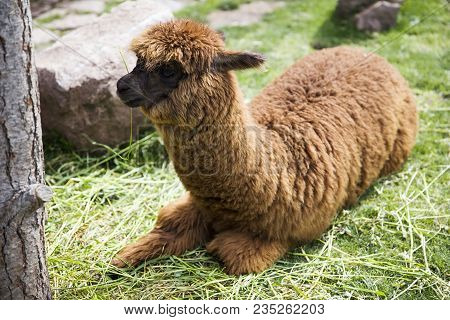Cute Little Baby Alpaca From Peru Lying On The Ground