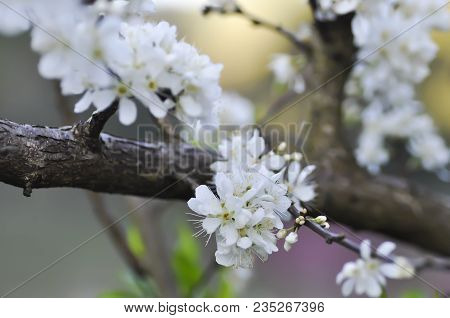 Chinese Plum Tree Or Peach Tree Or Peach Flower On The Tree