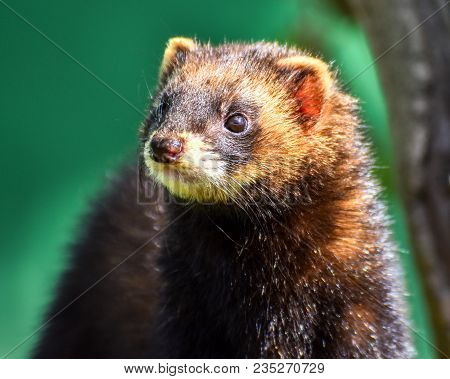 Polecat In Bright Sunshine With Green Background