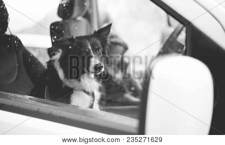 Dog Sitting In The Car. Border Collie. Black And White Photography.