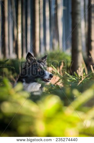 Portrait Of The Head Of Dog - Black And White Border Collie - Sitting In The Small Coniferous Trees