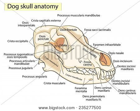 The Skull Of A Dog. Structure Of The Bones Of The Head, Anatomical Design. Showing The Main Parts Fo
