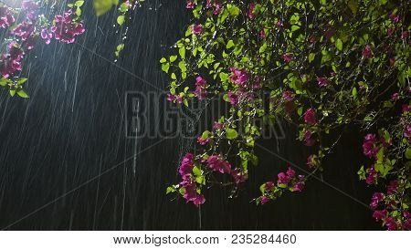 Flower In Rain. Beautiful Purple Garden Flowers In Rain At The Black Night Background. Summer Nature