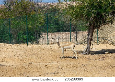 Single sand gazelle (Gazella marica) in nature reserve. Island Sir Bani Yas, UAE. poster