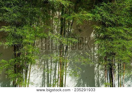 Green Bamboo Trees Standing Tall Formed A Beautiful Lines And Pattern