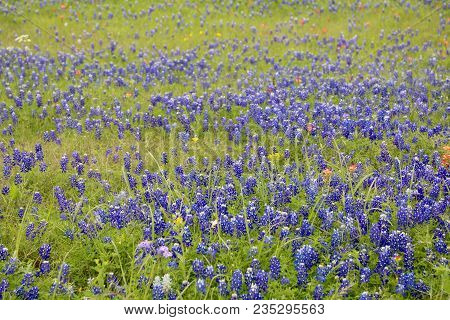 The Lovely, Blooming Blue Bonnets Are At Its Peak...
