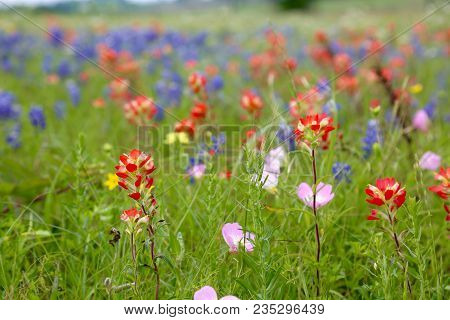 The Lovely, Blooming Blue Bonnets And Indian Paintbrush In Texas...