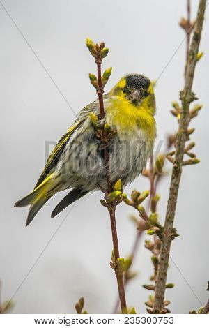 A Eurasian Siskin Sitting On A Branch Looking Straight Into The Camera. Also Known As European Siski