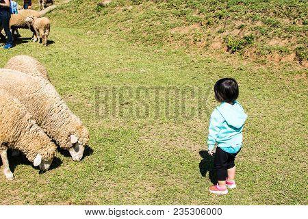 Chomthong, Chiang Mai, Thailand 29-oct-2017  Children With Sheep Watching Sheep