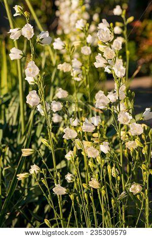 Flower White Bells. Beautiful Flowers. Bells Are Blooming