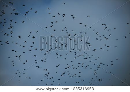 Migratory Birds Concept. Black Birds Or Crows In Dark Sky. Many Small Birds Fly High In Gloomy Fall