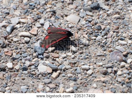 Cinnabar Moth Or Tyria Jacobaeae Resting On A Stony Surface