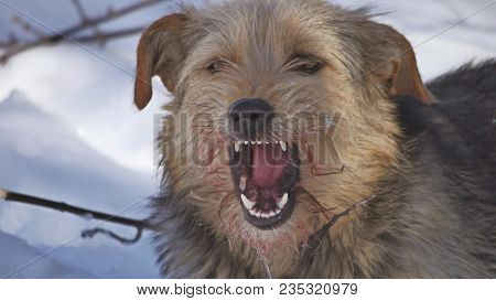 Close Up Close Up Dirty Stray Dog Eating Pigeon Bird. Bird Problem Of Stray Dogs Winter Lies On The