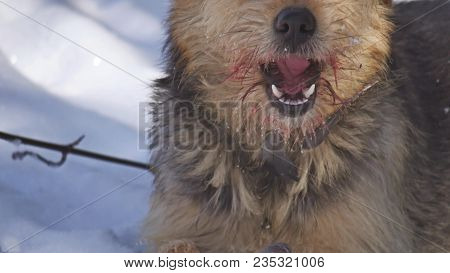 Close Up Close Up Problem Of Stray Dirty Stray Dog Eating Pigeon Bird. Bird Dogs Winter Lies On The
