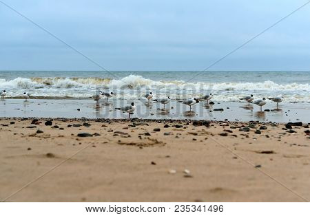 Waterfowl On The Sea Coast, Sea Coast Seagulls And Stones, Seagulls Fat On The Sea Coast
