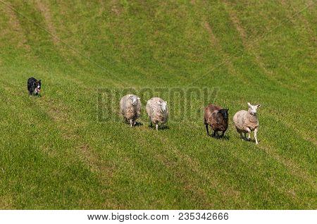 Herding Dog Behind Line Of Sheep (ovis Aries) - At Sheep Dog Herding Trials