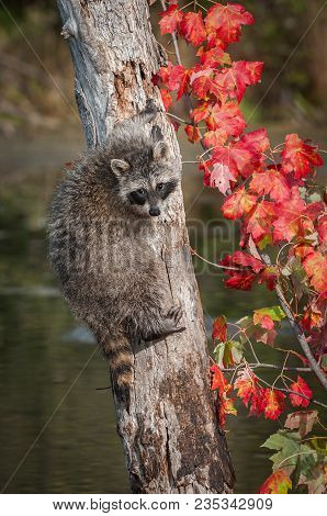 Raccoon (procyon Lotor) Looks Back From Side Of Tree - Captive Animal