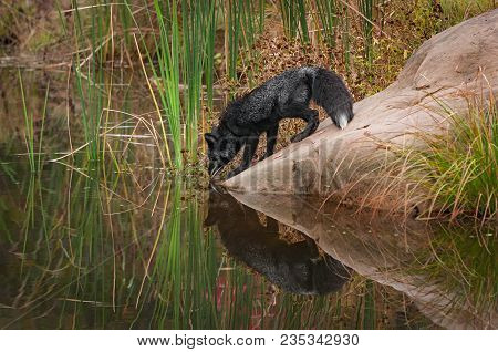 Silver Fox (vulpes Vulpes) Reflected On Rock - Captive Animal