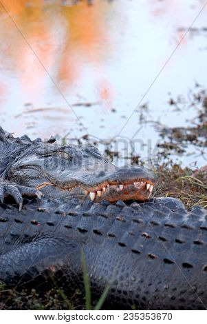 An American Alligator Taking A Nap On The Back Of Another Alligator.