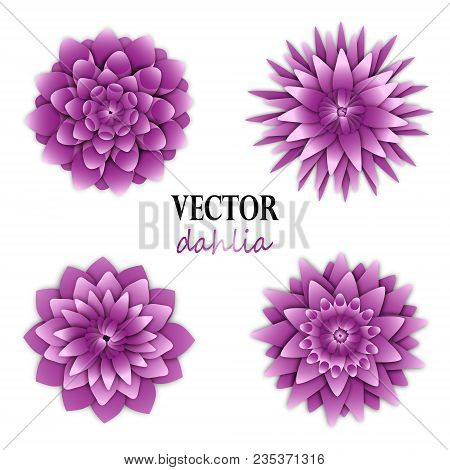 Light Lilac Dahlias Collection. Top View On Flowers. Elements For Floral Design. Vector Illustration