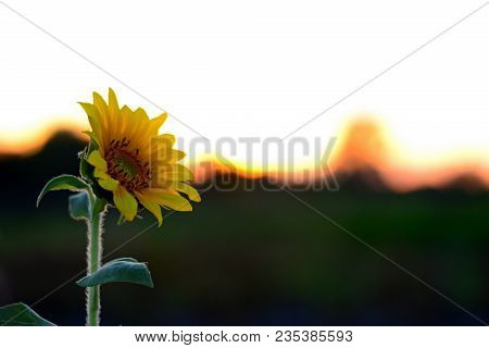 Macro View Sunflower. One Sunflower In The Field Natural Blurred Background. Field With Blooming Sun