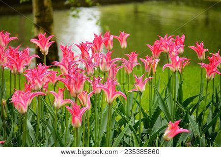 Close-up Pink Tulips In A Beautiful Field. Bulbous Field Pink Tulips Bright Flowers. Pink Tulips Wit