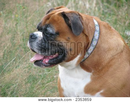 Grand Old Boxer Dog